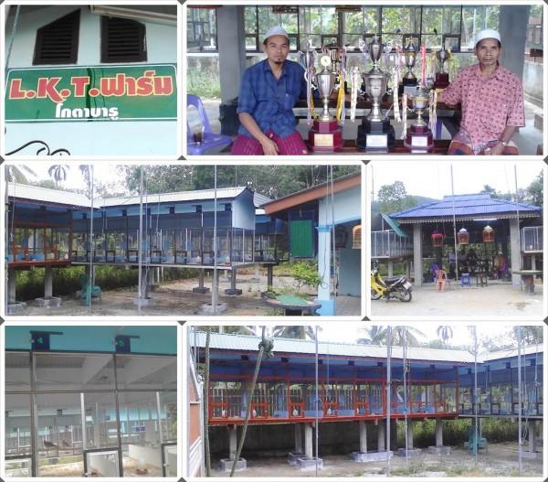 LKT birdfarm perkutut kotabaru raman yala thailand